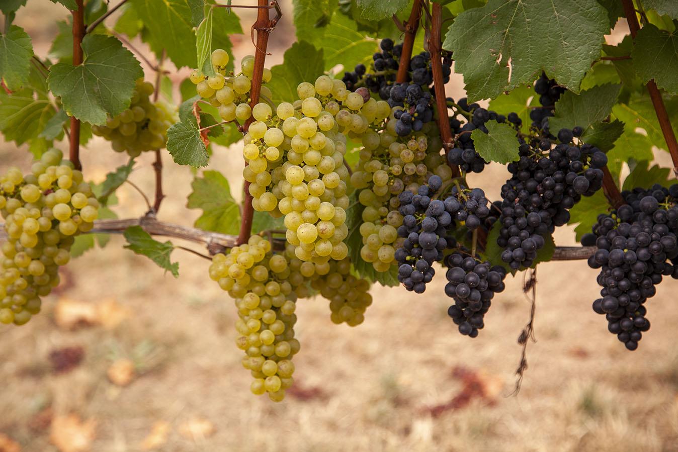 Oregon wine grapes
